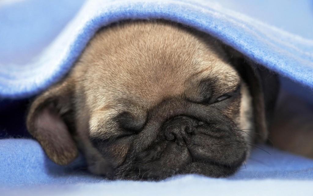 спящий мопс